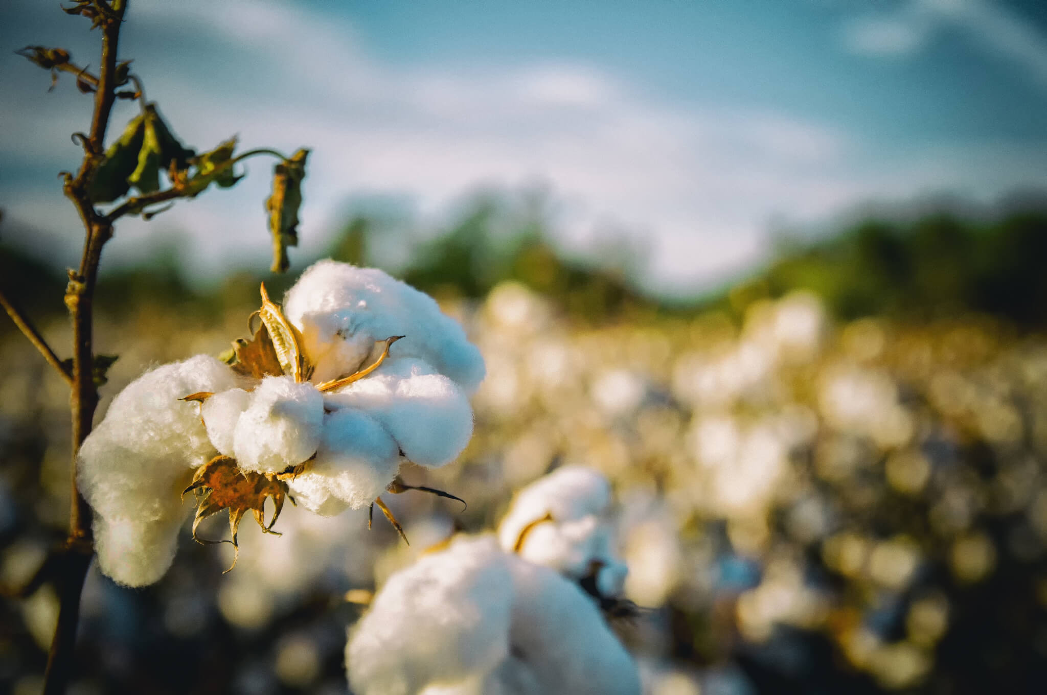 Paraquat can be used on cotton plants.